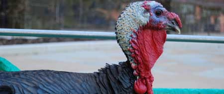 American Bronze Turkey at Fishers Mobile Farm