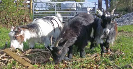 Anfield Primary School pygmy goats on holiday in Wales