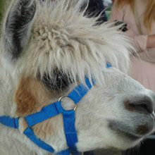 Alpacas @ Fishers Mobile Farm