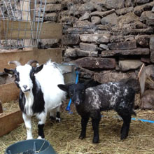 Fishers Mobile Farm - Pygmy goat & adopted lamb
