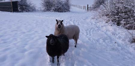 Fishers Mobile Farm sheep in winter