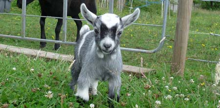 Fishers Mobile Farm - baby goat