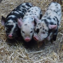 Fishers Mobile Farm Kunekune piglets - 3 weeks old
