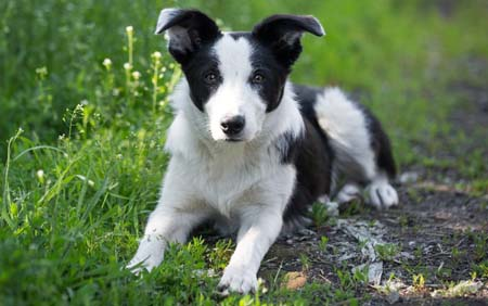 Fishers Mobile Farm border collie pup
