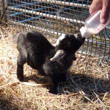 Fishers Mobile Farm bottle fed kid.jpg