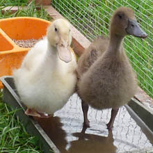 Fishers Mobile Farm ducklings.jpg