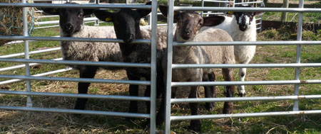 Fishers Mobile Farm lambs