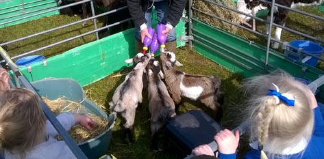 Bottle feeding pygmy goat kids x 3 at a Fishers Mobile Farm visit