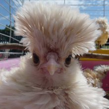 Frizzle chick @ Fishers Mobile Farm