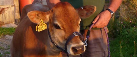 Buttercup, Fishers Mobile Farm Jersey calf
