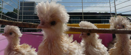 Polish Frizzle chicks at an Oldham school