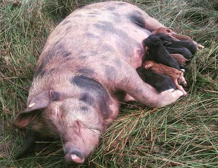 Fishers Mobile Farm's Polly at her new home in Bowland Wild Boar Park with her new babies