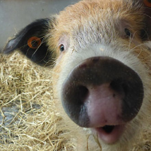 Fishers Mobile Farm - Polly Pig
