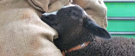 Bella the Zwartble having a snooze at a Mobile Farm visit to a Lancashire Primary School