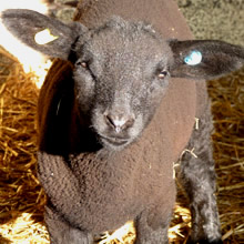 Fishers Mobile Farm lamb