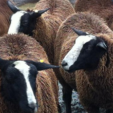Fishers Mobile Farm Zwartble sheep